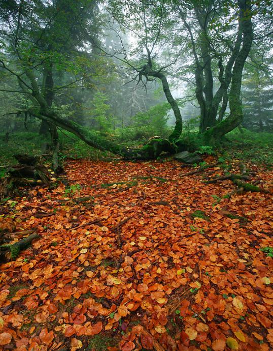 Las szczególne wrażenie robi podczas zalegających mgieł