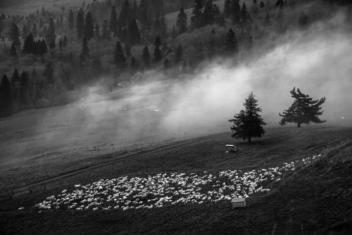 Stado owieczek