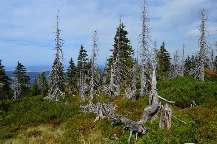 Masowa degradacja drzew w Sudetach