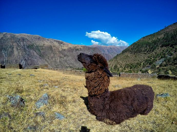 Dumna alpaka na szlaku w dolinie Patacancha w Andach w Peru