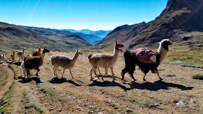 Stada lam towarzyszące nam podczas trekkingu w okolicach Lares, Peru