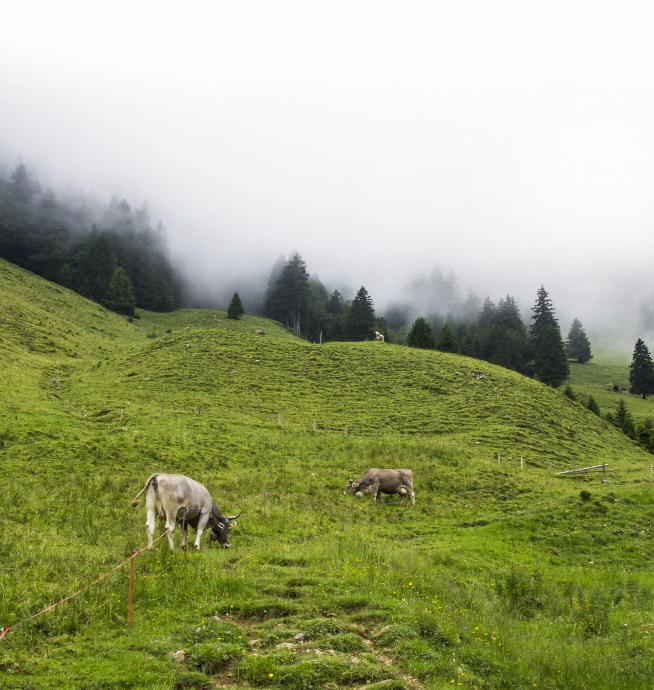 Krowy w chmurach