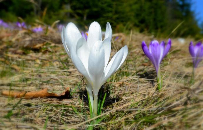 W Gorcach można spotkać również białe okazy