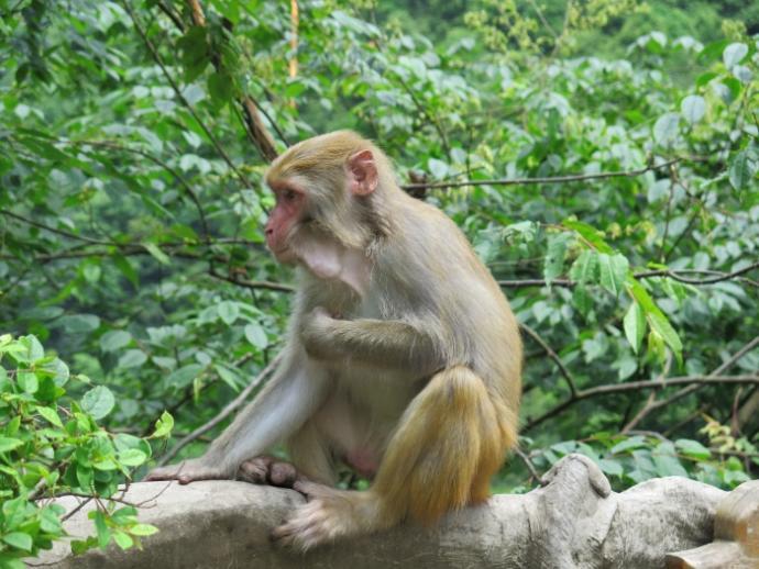 Makaki - mieszkańcy Zhangjiajie National Forest Park
