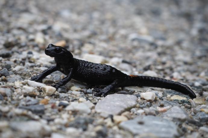 Salamandra czarna - występuje niemal wyłącznie w Alpach. Podobna do naszej salamandry plamistej, tylko oczywiście plamek jej brak.