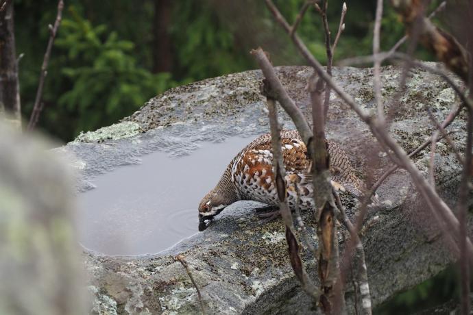 Jarząbek zimuje w Polsce, można go spotkać na terenach górskich