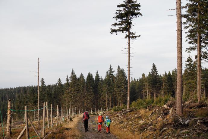 Zniszczone monokultury świerkowe zastępuje się bukami, modrzewiami i jaworami