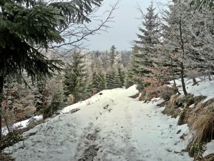świerkowy las karpacki