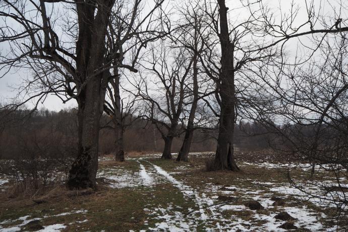 Majestatyczne stare drzewa znaczą przebieg dawnej drogi do dworu