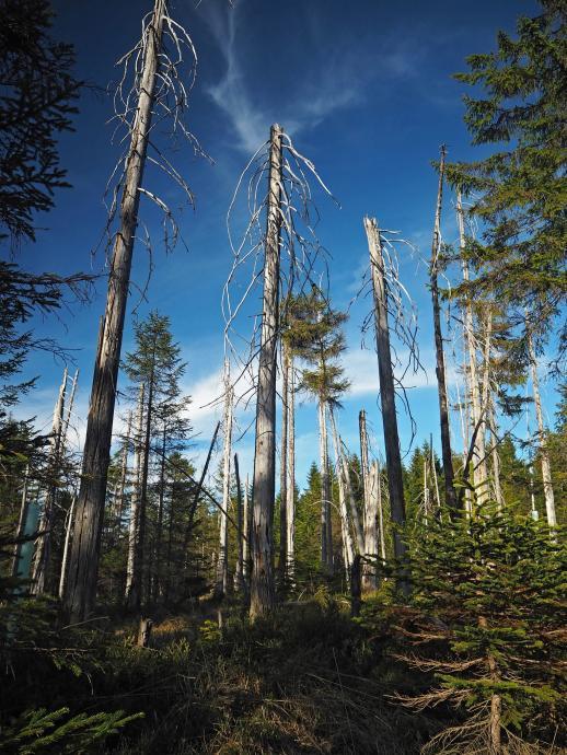 Martwe drzewa, ofiary ekologicznej katastrof w Izerach...