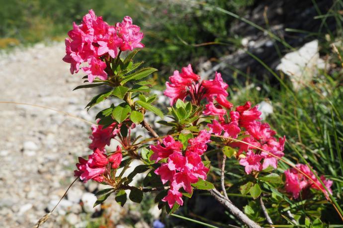 Podziwiamy różaneczniki alpejskie.
