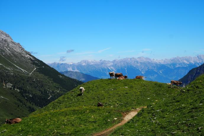 Krowy pięknie komponują się z alpejskim krajobrazem.