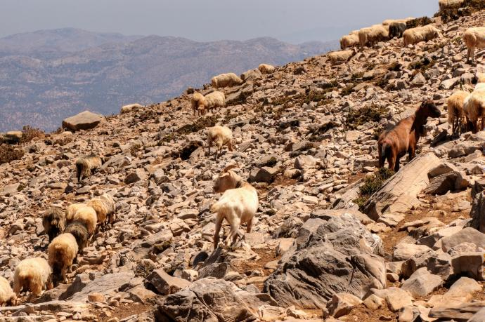 Te owce i kozy nie widziały górskiej hali...