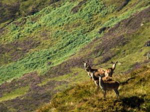 Dzikie jelenie na zboczach Ben Venue