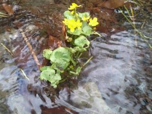 Wiosenne Kwiatki - Knieć Błotna