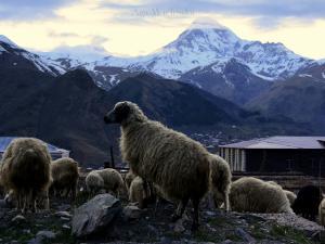 Owieczki na tle Kazbeku.