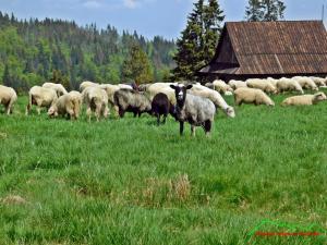 Owce na Hali Długiej pod Turnaczem na wypas oddane