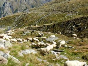 Owce na szlaku