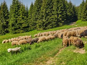 W Gorcach klasycznie. Owce i krwiożerczy pies pasterski