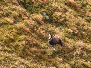 Kozice spotkane w Tatrach Bielskich, nie były zbyt skore do ruchu