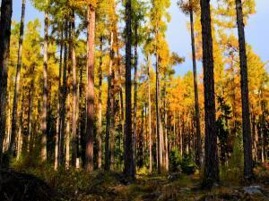 Złoty, iglasty las