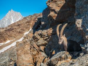 Alpejskie kozice