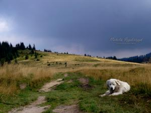 Strażnik owiec na Hali pod Turbaczem