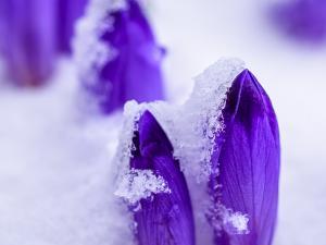 Krokusy na Polanie Chochołowskiej powoli zasypywane przez śnieg w pierwszych dniach kwietnia