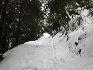 świerkowa droga na Przełęcz Sowią