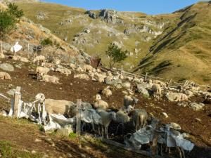Owce też już się obudziły.