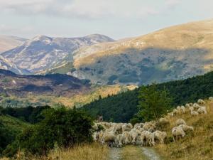 Owce wracają do swojej zagrody.