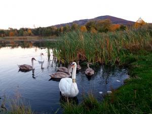 Rodzina łabędzi nad Złotym Jeziorem
