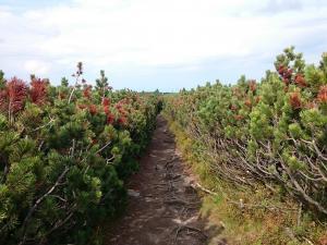 Szlak w kosodrzewinach