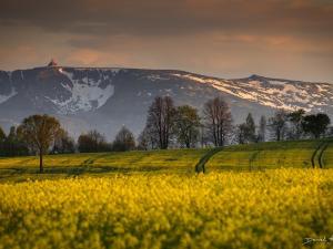 Wiosna w Karkonoszach. Rzepaki
