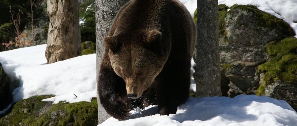 Brown Bear in an open-air enclosure at the National Park Bavarian Forest