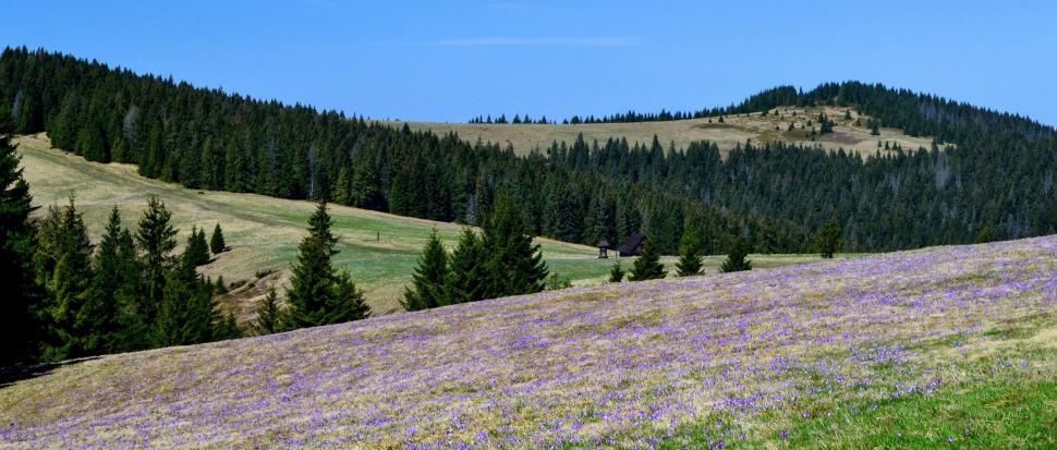 Fioletowy dywan z widokiem na Halę Długą, Halę Turbacz i Czoło Turbacza